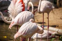 Um rebanho de flamingos cor-de-rosa Fotografia de Stock