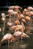 Um rebanho de flamingos cor-de-rosa e de reflexão na água Imagens de Stock