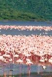 Um rebanho de flamingos cor-de-rosa na costa do lago r Imagem de Stock Royalty Free