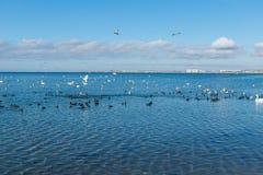 Um rebanho de galeirões dos pássaros, ou lat dos planos Atra do Fulica e lat da gaivota da prata Argentatus do Larus, e lat da ci Fotos de Stock