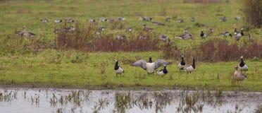 Um rebanho de gansos de Barnacle Fotos de Stock Royalty Free