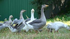 Um rebanho de gansos domésticos anda em um prado verde O ganso grande bate suas asas Rebanhos animais e aves domésticas filme