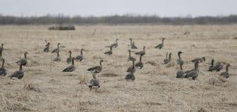 Um rebanho de gansos selvagens na primavera Fotografia de Stock Royalty Free