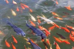 Um rebanho de grandes carpas multi-coloridas na lagoa imagens de stock