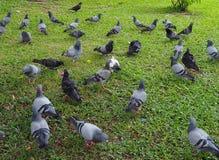 Um rebanho de pássaros do pombo no campo de grama em Banguecoque Foto de Stock