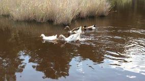 Um rebanho de patos domésticos e dos gansos dos pássaros que flutuam no rio video estoque