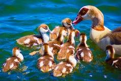 Um rebanho de patos e da mãe marrons recém-nascidos imagem de stock