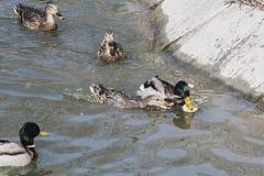 Um rebanho de patos selvagens nada no rio imagens de stock