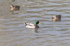 Um rebanho de patos selvagens nada no rio foto de stock royalty free
