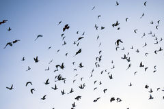 Um rebanho de pombas do voo Fotografia de Stock