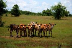 Um rebanho de touros novos Foto de Stock Royalty Free