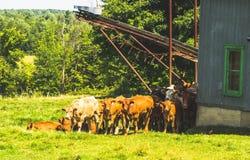 Um rebanho de vaca Imagem de Stock