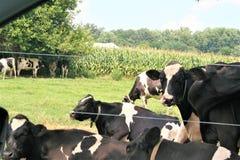 Um rebanho de vacas preto e branco tenta ficar fresco sob as árvores em um dia de verão quente fotografia de stock royalty free