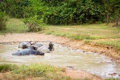 Um rebanho do búfalo está encontrando-se na lama imagens de stock royalty free