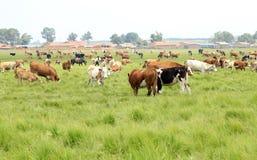 Um rebanho do gado está pastando Fotografia de Stock
