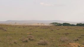 Um rebanho do gnu corre rapidamente de um predador no savana africano video estoque