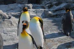 Um rebanho do pinguim no jardim zoológico de Asahiyama, Hokkaido, Japão imagem de stock