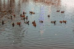 Um rebanho do wintering dos patos selvagens no rio em um parque da cidade Cena bonita do por do sol imagens de stock