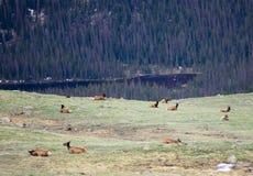 Um rebanho dos alces que pastam em um prado alpino em Rocky Mountain National Park em Colorado imagens de stock royalty free