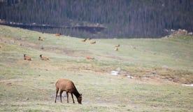 Um rebanho dos alces que pastam em um prado alpino em Rocky Mountain National Park em Colorado fotografia de stock
