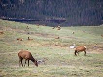 Um rebanho dos alces que pastam em um prado alpino em Rocky Mountain National Park em Colorado fotos de stock