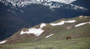 Um rebanho dos alces que pastam em um prado alpino em Rocky Mountain National Park em Colorado imagens de stock