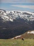 Um rebanho dos alces que pastam em um prado alpino em Rocky Mountain National Park em Colorado foto de stock