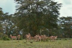 Um rebanho dos antílopes no santuário do jogo do lago crater, Naivasha, Kenya imagens de stock royalty free