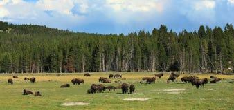 Um rebanho dos búfalos Fotos de Stock Royalty Free