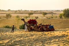 Um rebanho dos camelos fotos de stock royalty free