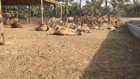 Um rebanho dos camelos na exploração agrícola filme
