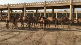 Um rebanho dos camelos na exploração agrícola video estoque