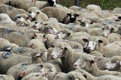 Um rebanho dos carneiros Fotos de Stock Royalty Free