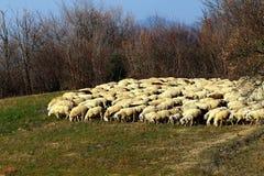 Um rebanho dos carneiros Imagem de Stock Royalty Free