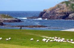 Um rebanho dos carneiros compartilha do campo de golfe no lado atlântico de t fotos de stock royalty free