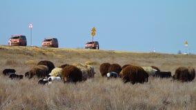 Um rebanho dos carneiros em um campo filme