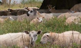 Um rebanho dos carneiros em um prado Fotos de Stock