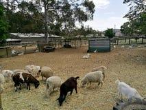 Um rebanho dos carneiros em uma exploração agrícola Fotografia de Stock Royalty Free