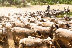 Um rebanho dos carneiros fotografia de stock