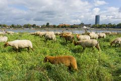 Um rebanho dos carneiros marrons que empoleiram-se na grama alta no riverbank fotografia de stock royalty free