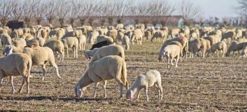 Um rebanho dos carneiros no campo Foto de Stock Royalty Free