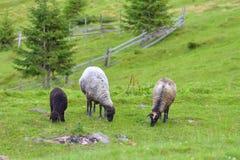Um rebanho dos carneiros que pastam na grama verde em um vale da montanha com uma paisagem bonita do verão imagem de stock