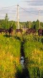 Um rebanho dos cavalos em um prado Imagem de Stock
