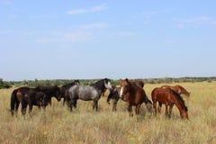 Um rebanho dos cavalos que pastam em um prado Fotos de Stock Royalty Free
