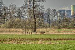Um rebanho dos cervos que pastam nos campos da mola imagens de stock