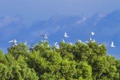 Um rebanho dos egrets fica na copa de árvore no verão da tarde Fotografia de Stock