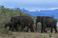 Um rebanho dos elefantes dirige no bushland em Uda Walawe National Park imagens de stock royalty free