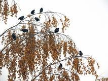 Um rebanho dos estorninhos no outono no vidoeiro ramifica Imagem de Stock