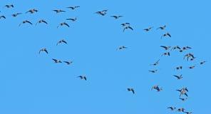 Um rebanho dos gansos Fotografia de Stock Royalty Free