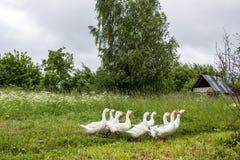Um rebanho dos gansos brancos anda ao longo de um trajeto gramíneo à procura do alimento, na perspectiva das cabanas e das árvore imagens de stock royalty free